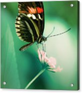 Red And Black Butterfly On White Flower Acrylic Print
