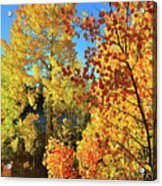 Red And Golden Aspens In Dillon Co Acrylic Print