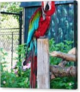 Red  And  Green Macaw         Zoo      Indiana Acrylic Print