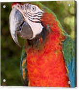 Red-and-green Macaw Acrylic Print