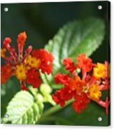Red And Orange Lantana Acrylic Print