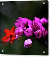 Red And Pink Acrylic Print