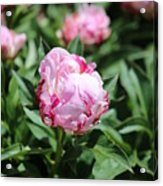 Red And Pink Peony Acrylic Print