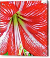 Red And White Beauty Acrylic Print