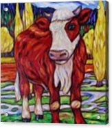Red And White Bull Calf Acrylic Print
