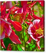 Red And White Columbine At Pilgrim Place In Claremont-california Acrylic Print