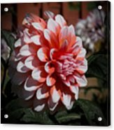 Red And White Dahlia Acrylic Print