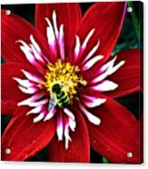 Red And White Flower With Bee Acrylic Print