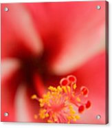 Red And White Hibiscus Flower Acrylic Print
