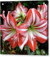 Red And White Lilies Acrylic Print by Gregory Young