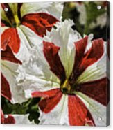 Red And White Petunia Acrylic Print