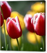 Red And White Tulips Large Canvas Art, Canvas Print, Large Art, Large Wall Decor, Home Decor Acrylic Print