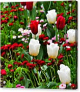 Red And White Tulips With Red And Pink English Daisies In Spring Acrylic Print