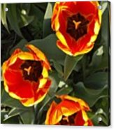 Red And Yellow Tulip Trio    Spring  Indiana Acrylic Print