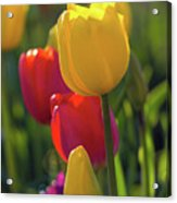 Red And Yellow Tulips Closeup Acrylic Print