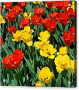 Red And Yellow Tulips  Naperville Illinois Acrylic Print