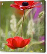 Red Anemone Coronaria In Nature Acrylic Print