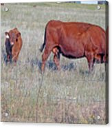 Red Angus Cow And Calf Acrylic Print