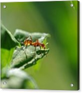 Red Ant On Leaf Acrylic Print