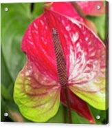 Red Anthurium Flower Acrylic Print