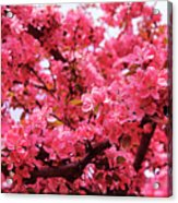 Red Apple Blossoms 6  Acrylic Print