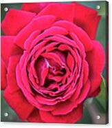 Red As A Rose  Acrylic Print