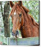 Red At The Fence Acrylic Print