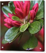 Red Azalea Buds Acrylic Print