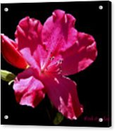 Red Azalea Acrylic Print