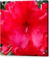 Red Azaleas Flowers 4 Red Azalea Garden Giclee Art Prints Baslee Troutman Acrylic Print