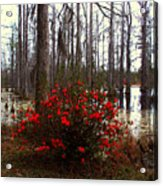 Red Azaleas In The Swamp Acrylic Print