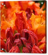 Red Azaleas Orange Azalea Flowers 9 Floral Giclee Art Prints Baslee Troutman Acrylic Print