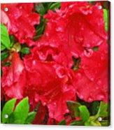 Red Azaleas Acrylic Print