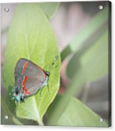 Red-banded Hairstreak Butterfly Acrylic Print