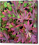 Red Bark Maple Leaves  Acrylic Print