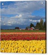 Red Barn Tulip Farm Acrylic Print