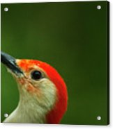 Red-bellied Acrylic Print