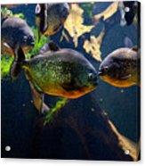 Red Bellied Piranha Or Red Piranha Acrylic Print