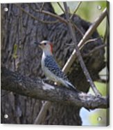 Red Bellied Wood Pecker Acrylic Print