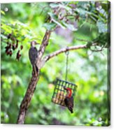 Red-bellied Woodpecker 2016 14 Acrylic Print