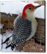 Red Bellied Woodpecker 5 Acrylic Print
