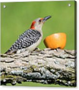 Red-bellied Woodpecker At The Feeder Acrylic Print