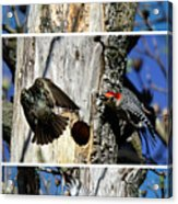 Red Bellied Woodpecker Harassed By A Starling Acrylic Print