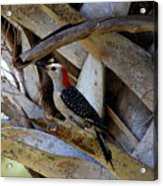 Red-bellied Woodpecker Hides On A Cabbage Palm Acrylic Print