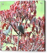 Red Bellied Woodpecker In Dogwood Acrylic Print by Alan Lenk