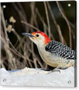 Red-bellied Woodpecker In The Snow Acrylic Print