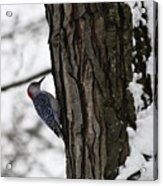 Red Bellied Woodpecker No 1 Acrylic Print