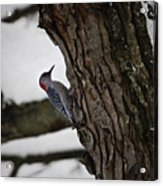 Red Bellied Woodpecker No 2 Acrylic Print