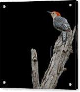 Red-bellied Woodpecker Portrait Acrylic Print