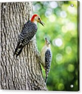 Red-bellied Woodpeckers Acrylic Print